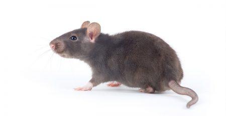 Soñar con ratas corriendo